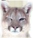 :cougar: